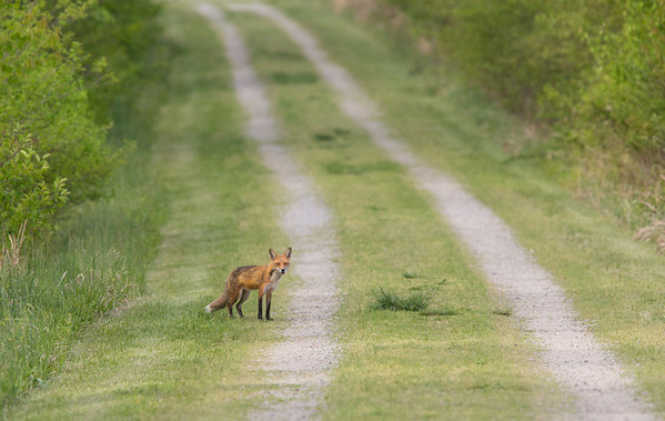 Red Fox. Occoquan National Wildlife Refuge.<br /> <br /> © Martin Radigan. All images copyright protected.