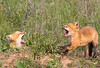 Fox Kits. Occoquan National Wildlife Refuge.<br /> <br /> © Martin Radigan. All images copyright protected.