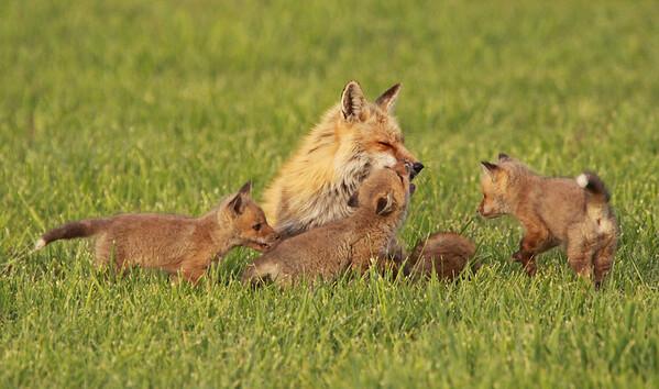 Fox family, Great Falls, VA. April, 2010.<br /> <br /> © Martin Radigan. All images copyright protected.