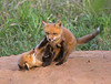 Fox Kits at Play. Occoquan National Wildlife Refuge.<br /> <br /> © Martin Radigan. All images copyright protected.