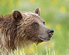 Grizzly Bear, Yellowstone NP. (taken Aug, 09)<br /> <br /> © Martin Radigan. All images copyright protected.