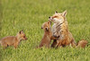 Mom and baby foxes. Great Falls, VA. April, 2010. Capturing these pic's involved hiding and waiting in/shooting out of a seriously decrepit barn so as not to be seen by the protective mother. The family put on an amazing show...<br /> <br /> © Martin Radigan. All images copyright protected.