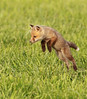 Fox pup playing...<br /> <br /> © Martin Radigan. All images copyright protected.