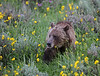 Grizzly, Mount Washburn.<br /> <br /> © Martin Radigan. All images copyright protected.