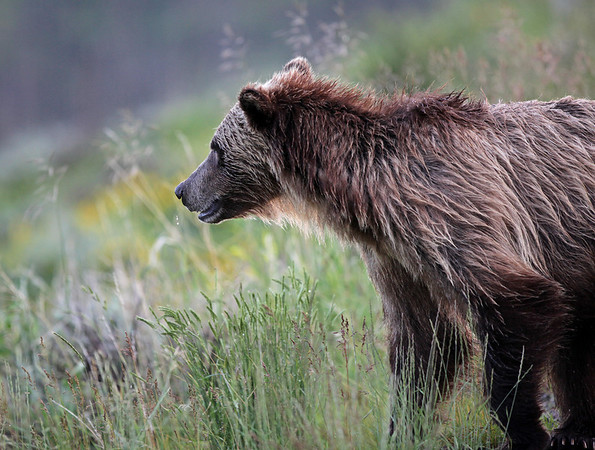 Grizzly Bear with snot coming from his nose...<br /> <br /> © Martin Radigan. All images copyright protected.