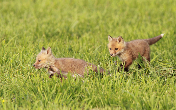 Chase...Red Fox kits, Great Falls VA. May, 2010.<br /> <br /> © Martin Radigan. All images copyright protected.