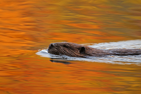 Beaver swims in the reflections of fall. Oct, 08.<br /> <br /> © Martin Radigan. All images copyright protected.