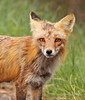 Red Fox, Occoquan NWR. April, 09.<br /> <br /> © Martin Radigan. All images copyright protected.