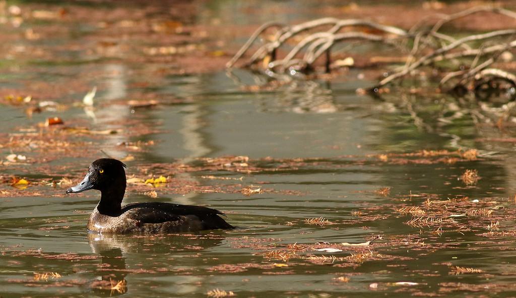 Kinkurohajiro, Tufted Duck, Aythya fuligula<br /> Mizumoto Prefectural Park, Tokyo