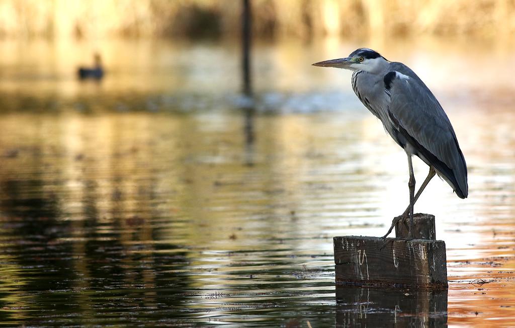 Aosagi, Grey Heron, Ardea cinerea<br /> Mizumoto Prefectural Park, Tokyo