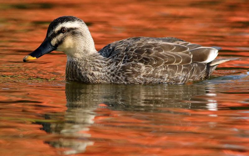 Karugamo, Spotbill Duck, Anas poecilorrhyncha<br /> Mizumoto Prefectural Park, Tokyo