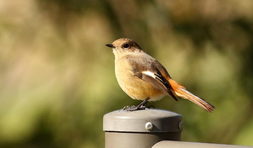 Jobitaki, Daurian Redstart, Phoenicurus auroreus - female<br /> Mizumoto Prefectural Park, Tokyo