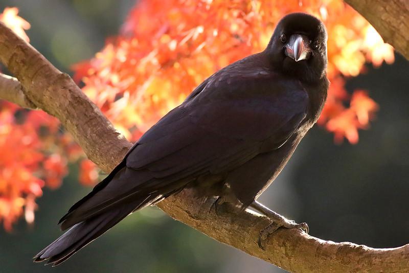 Hashibutogarasu, Jungle Crow, Corvus macrorhynchos<br /> Mizumoto Prefectural Park, Tokyo