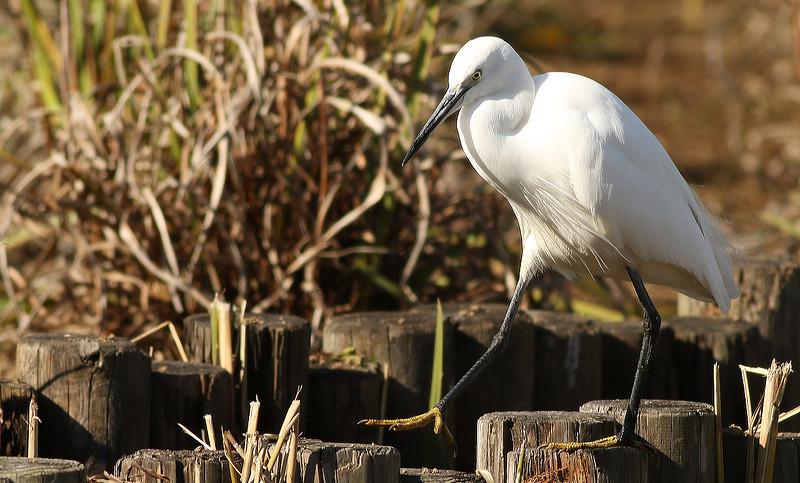 Kosagi, Little Egret, Egretta garzetta<br /> Mizumoto Prefectural Park, Tokyo