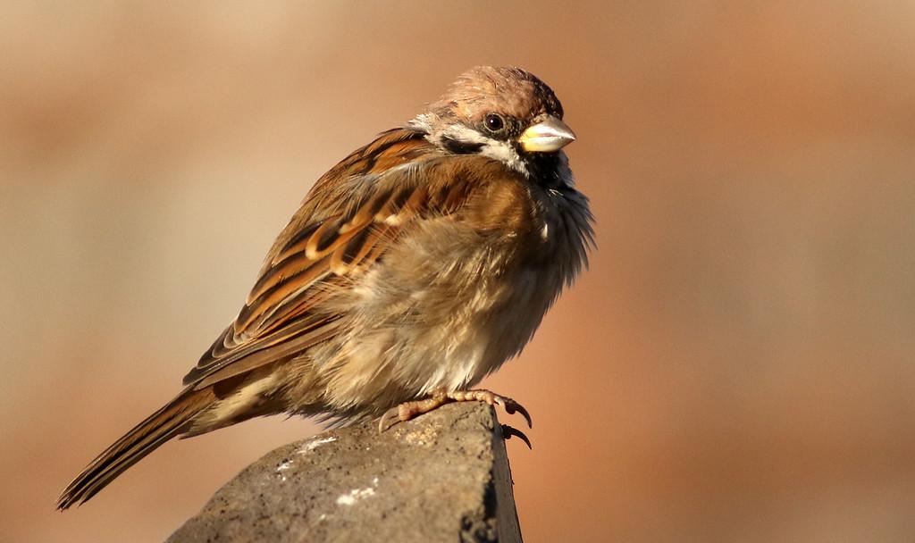 Suzume, Tree Sparrow, Passer montanus<br /> Ueno Park, Tokyo