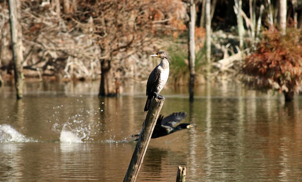Cormorants<br /> Mizumoto Prefectural Park, Tokyo