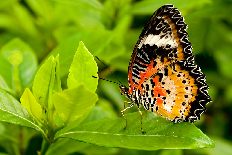 Lacewing Butterfly.