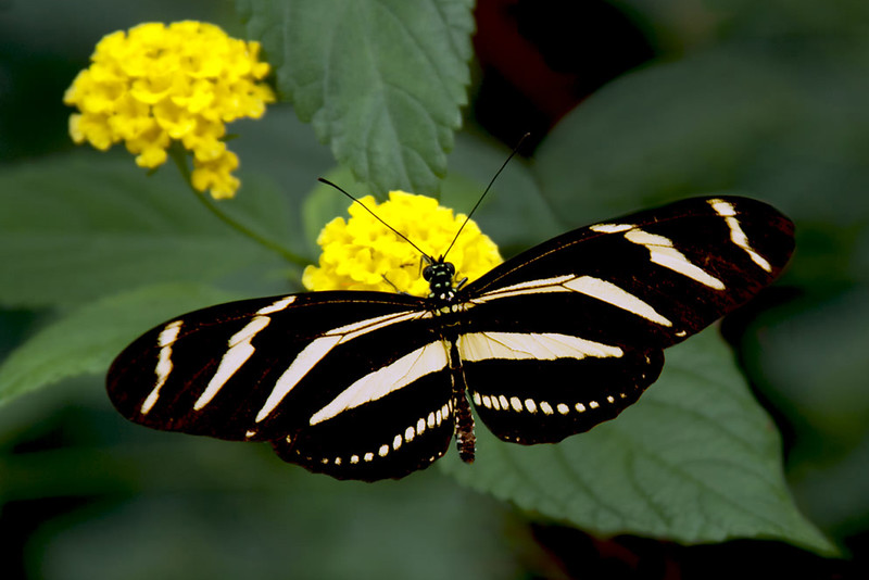 Blackwinged butterfly B