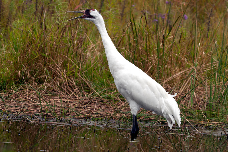 Whooping Crane_8486