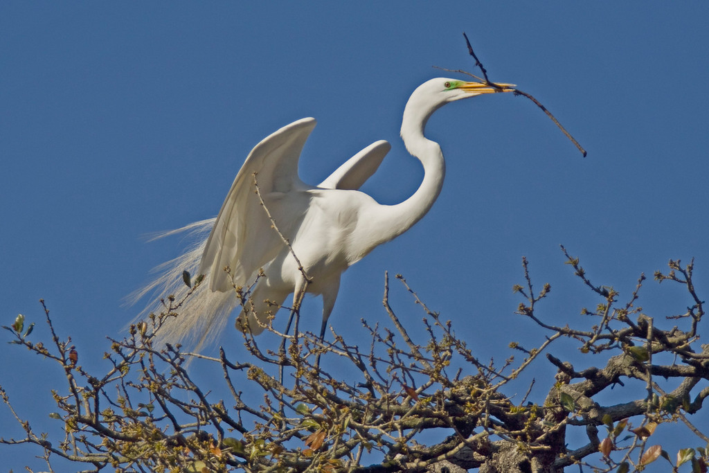 Great White Egret B