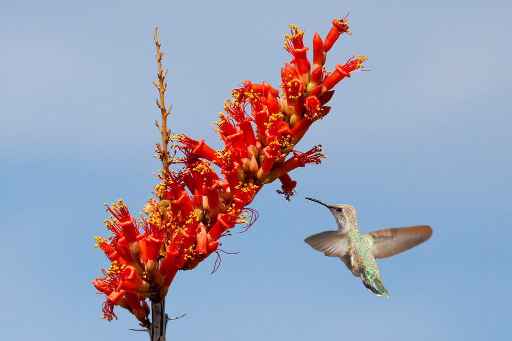 Hummingbird at Flower.