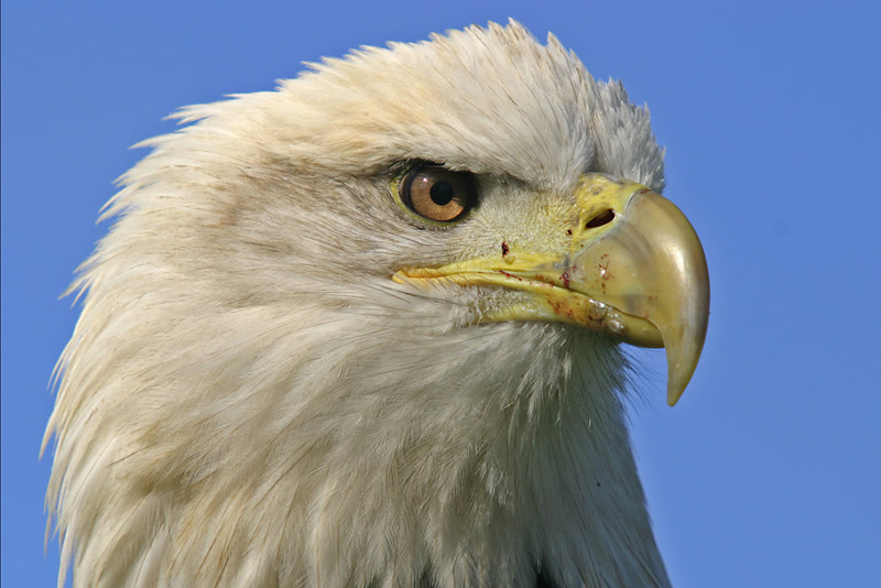 Eagle Portrait B