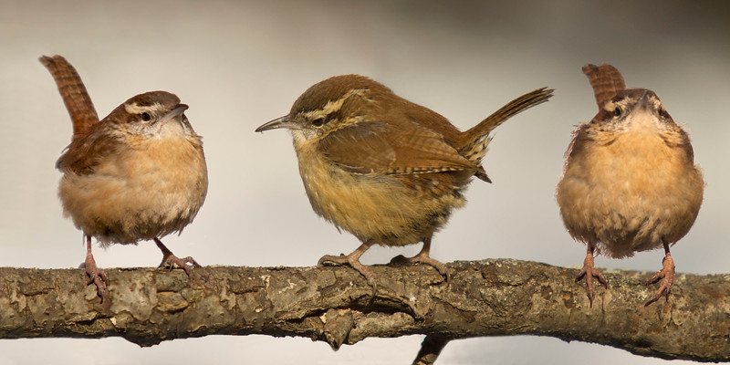 Three Wren_5803