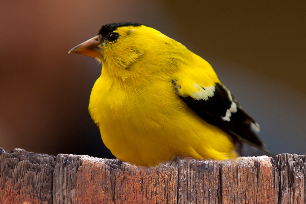 Gold Finch on Barrel top.