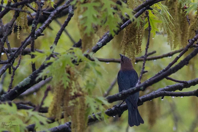 Brown Headed Cowbird and European Starling