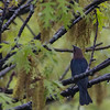 Brown Headed Cowbird and European Starling