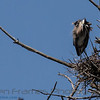 Great Blue Heron<br /> Great Blue Heron