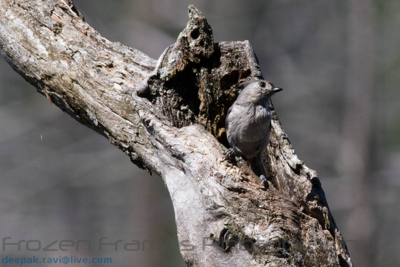 Tufted Titmouse<br /> Tufted Titmouse
