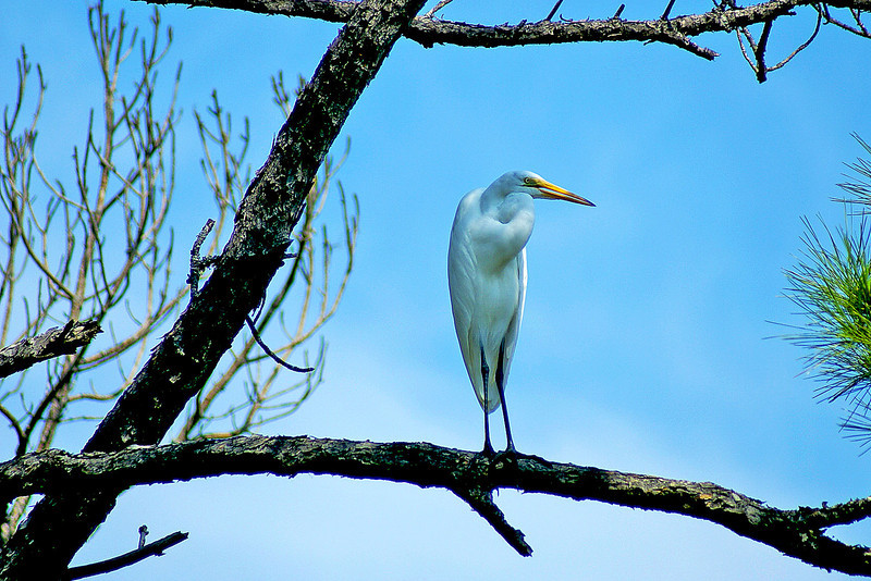 Great Egret, St. Joe Peninsula State Park, FL.