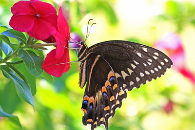 Palamedes Swallowtail Butterfly on Impatiens, Milton, FL.