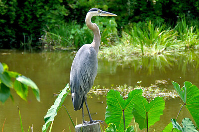 Great Blue Heron, Wildlife Sanctuary of Northwest Florida, Pensacola, FL.