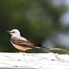 Scissor-tailed Flycatcher, Denton, TX.