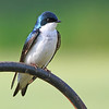 Tree Swallow, Salem, OH.