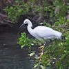 Snowy Egret, Key Largo, FL.