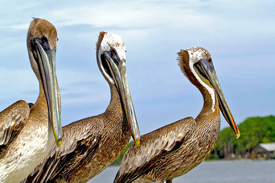 Brown Pelicans, St. Joe Bay, FL.