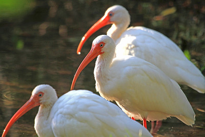 White Ibis, Key Largo, FL.