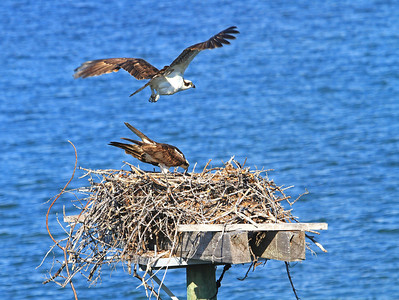 Nesting Osprey Pair, Key Largo, FL.