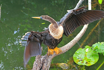 Anhinga in breeding plumage. Anhinga Trial, Everglades National Park, FL.