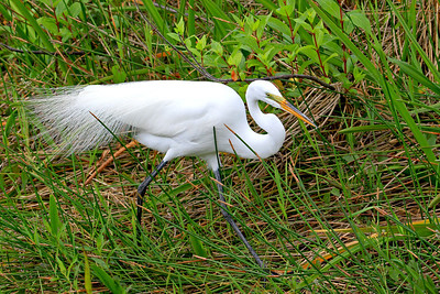 Immature Great Egret. Anhinga Trail Everglades Nat'l Park, FL.