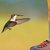 Ruby-Throated Hummingbird, Milton, FL.