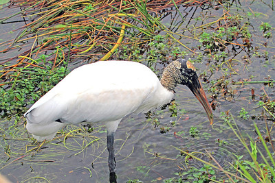 Wood Stork, Anhinga Trail Everglades Nat'l Park, FL.