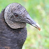A face only a mother could love. Black Vulture. Anhinga Trail Everglades Nat'l Park, FL.