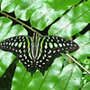 Green Spot Triangle Butterfly, Key West, Florida.