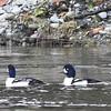 Ducks-Barrows Goldeneye