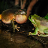 Frogs love story