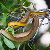 yellow tree snake 086902017_0287 copy